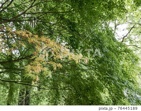 東京都八王子市の都立公園の小宮公園のカエデの樹木 76445189