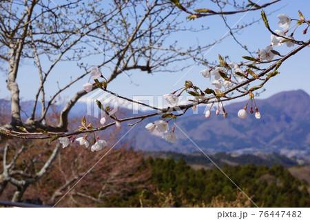 群馬県の伊香保温泉の桜 76447482