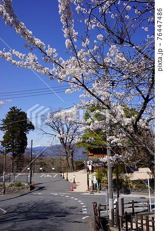群馬県の伊香保温泉の桜 76447486