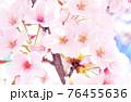 ソメイヨシノ 76455636