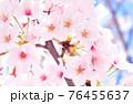 ソメイヨシノ 76455637