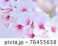 ソメイヨシノ 76455638