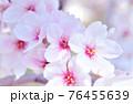 ソメイヨシノ 76455639