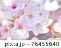 ソメイヨシノ 76455640