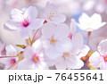 ソメイヨシノ 76455641