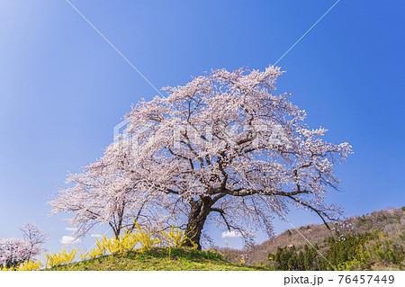 青空と白石川堤一目千本桜 宮城県柴田町 76457449