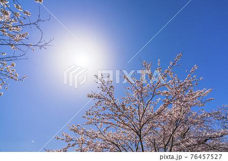 青空と白石川堤一目千本桜 宮城県大河原町 76457527