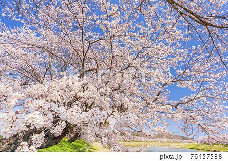 青空と白石川堤一目千本桜 宮城県大河原町 76457538
