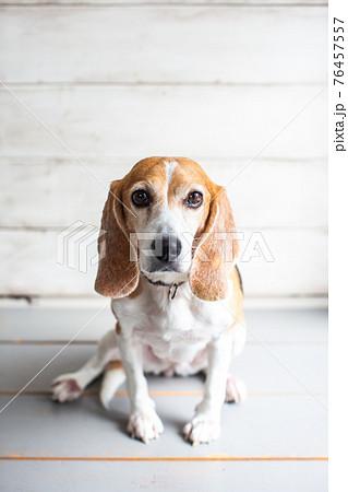 お座りしてこちらを見つめてくるビーグル犬 76457557