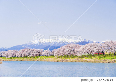 残雪の蔵王と満開の桜 白石川堤一目千本桜 宮城県大河原町 76457634