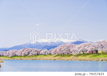 残雪の蔵王と満開の桜 白石川堤一目千本桜 宮城県大河原町 76457635