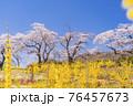 青空と満開の桜 白石川堤一目千本桜 宮城県柴田町 76457673