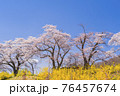 青空と満開の桜 白石川堤一目千本桜 宮城県柴田町 76457674