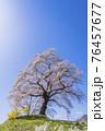 青空と満開の桜 白石川堤一目千本桜 宮城県柴田町 76457677