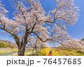 青空と白石川堤一目千本桜 散歩する男女 宮城県柴田町 76457685