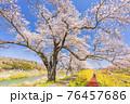 青空と白石川堤一目千本桜 散歩する男女 宮城県柴田町 76457686