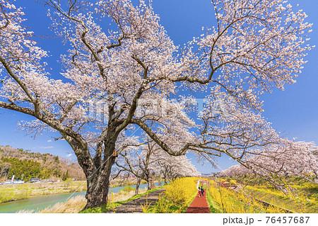 青空と白石川堤一目千本桜 散歩する男女 宮城県柴田町 76457687