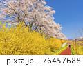 青空と白石川堤一目千本桜 散歩する男女 宮城県柴田町 76457688