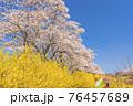青空と白石川堤一目千本桜 散歩する男女 宮城県柴田町 76457689