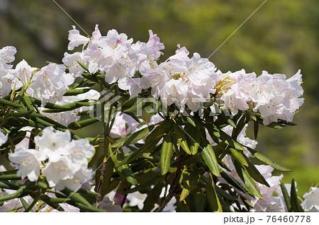 石楠花園に白いシャクナゲの花が咲いています。Rhododendron 76460778
