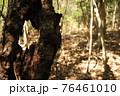 林の中で見つけた割れた幹 76461010