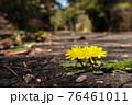 アスファルトの割れ目から咲くタンポポ 76461011