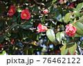 群馬県、吾妻神社の風景 春 ツバキ 76462122