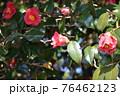 群馬県、吾妻神社の風景 春 ツバキ 76462123