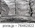 【セピア】鈴鹿の森庭園 梅 76462822