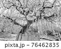 【セピア】鈴鹿の森庭園 梅 76462835