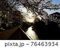 東京都杉並区 堀之内 善福寺川の桜と夕日 76463934