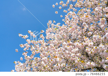 八王子市浅川ゆったりロード 染井吉野と交代する様に咲き始めた八重桜  76466255