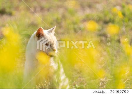 菜の花と猫 76469709