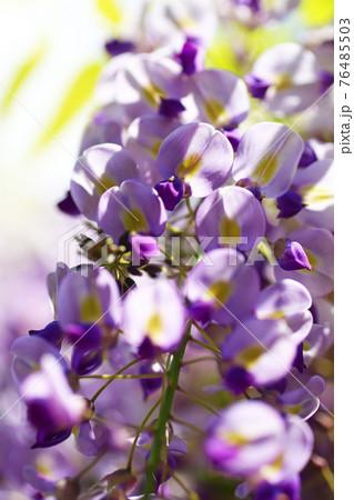 春の公園に咲く美しい藤の花クローズアップ 76485503