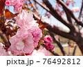 見事に咲き誇る八重桜 76492812