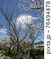 咲き始めたオオシマザクラともうすぐ満開になるオオシマザクラ 76494878