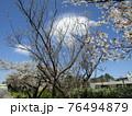 咲き始めた大島ザクラともうすぐ満開になるオオシマザクラ 76494879