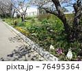 オオシマザクラの下のナバナの花 76495364