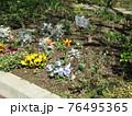 こじま花の会花畑のパンジーとチューリップの花 76495365