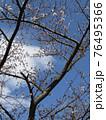咲き始めたオオシマザクラ 76495366