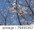 もうすぐ満開になるオオシマザクラ 76495367