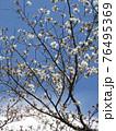 咲き始めたオオシマザクラ 76495369