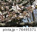 もうすぐ満開になるオオシマザクラ 76495371