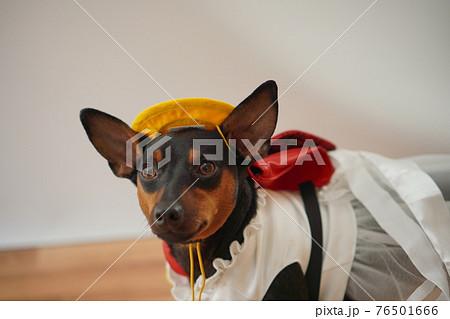 犬 ミニチュアピンシャー 入学式 1年生  ランドセル 写真 76501666