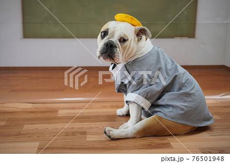 犬 ブルドッグ 入学式 1年生  ランドセル 写真 76501948