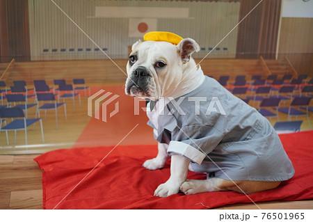 犬 ブルドッグ 入学式 1年生  ランドセル 写真 76501965