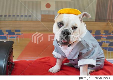 犬 ブルドッグ 入学式 1年生  ランドセル 写真 76501994