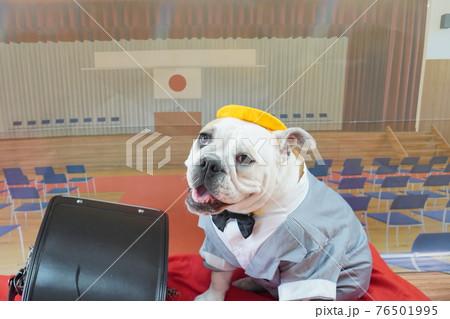 犬 ブルドッグ 入学式 1年生  ランドセル 写真 76501995