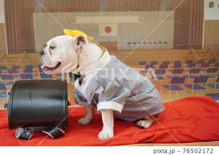 犬 ブルドッグ 入学式 1年生  ランドセル 写真 76502172