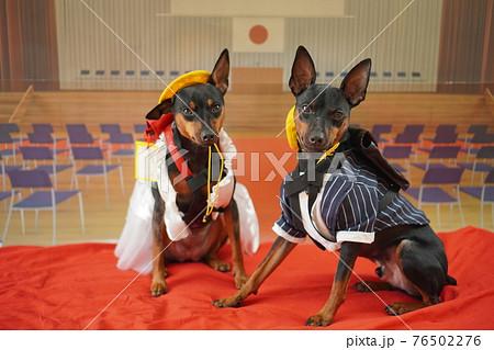 犬 ミニチュアピンシャー 入学式 1年生  ランドセル 写真 76502276